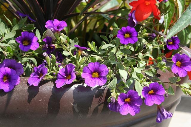 colorful planters, purple flowers, petunias