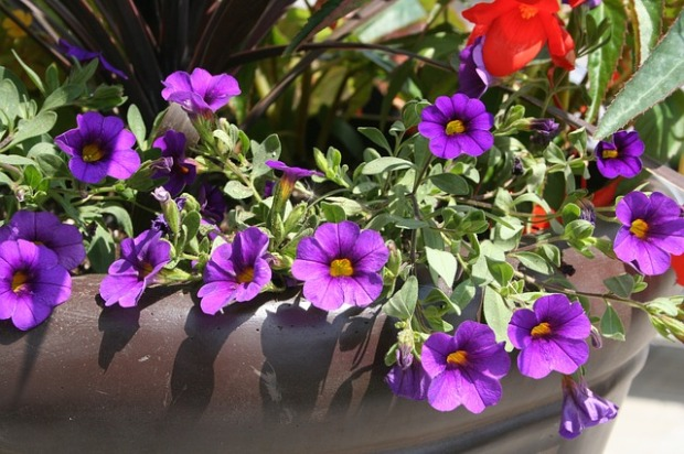 colorful planters, purple flowers, petunias